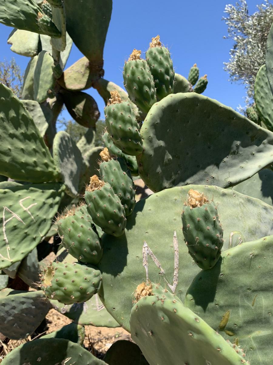 Kaktuszfüge is érik lassan
