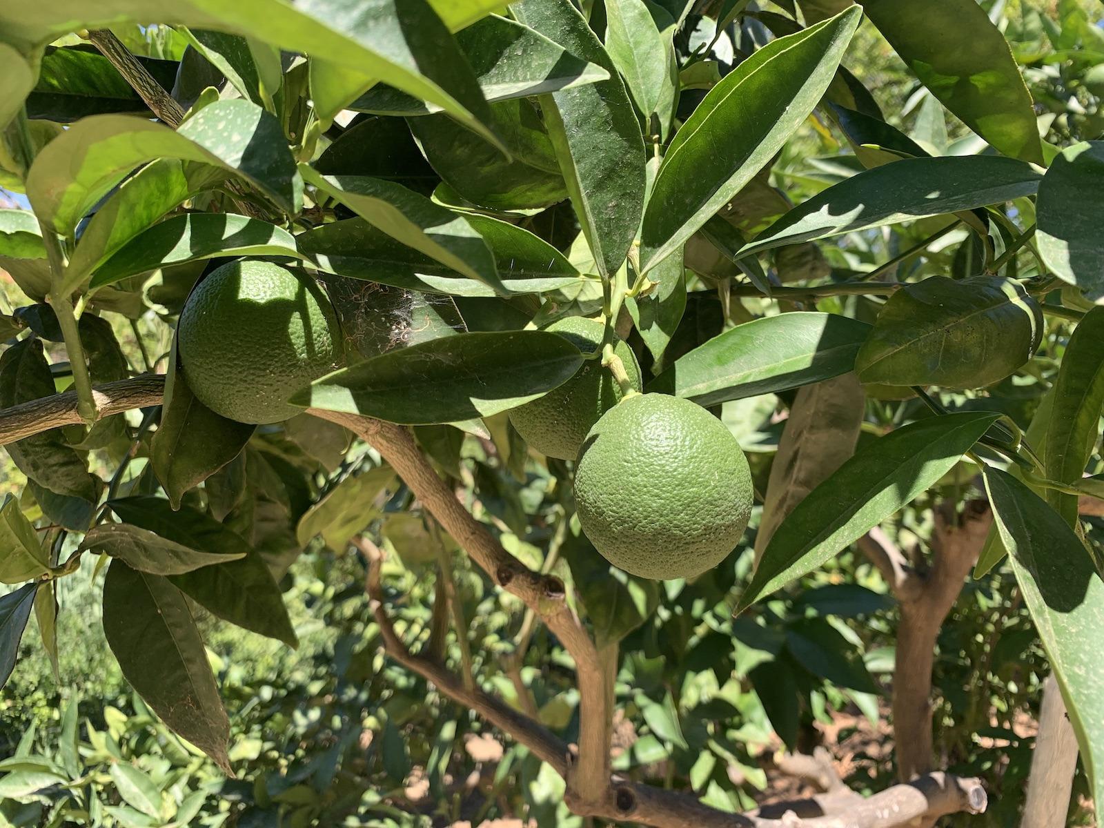 A citrusfélék jól megélnek erre