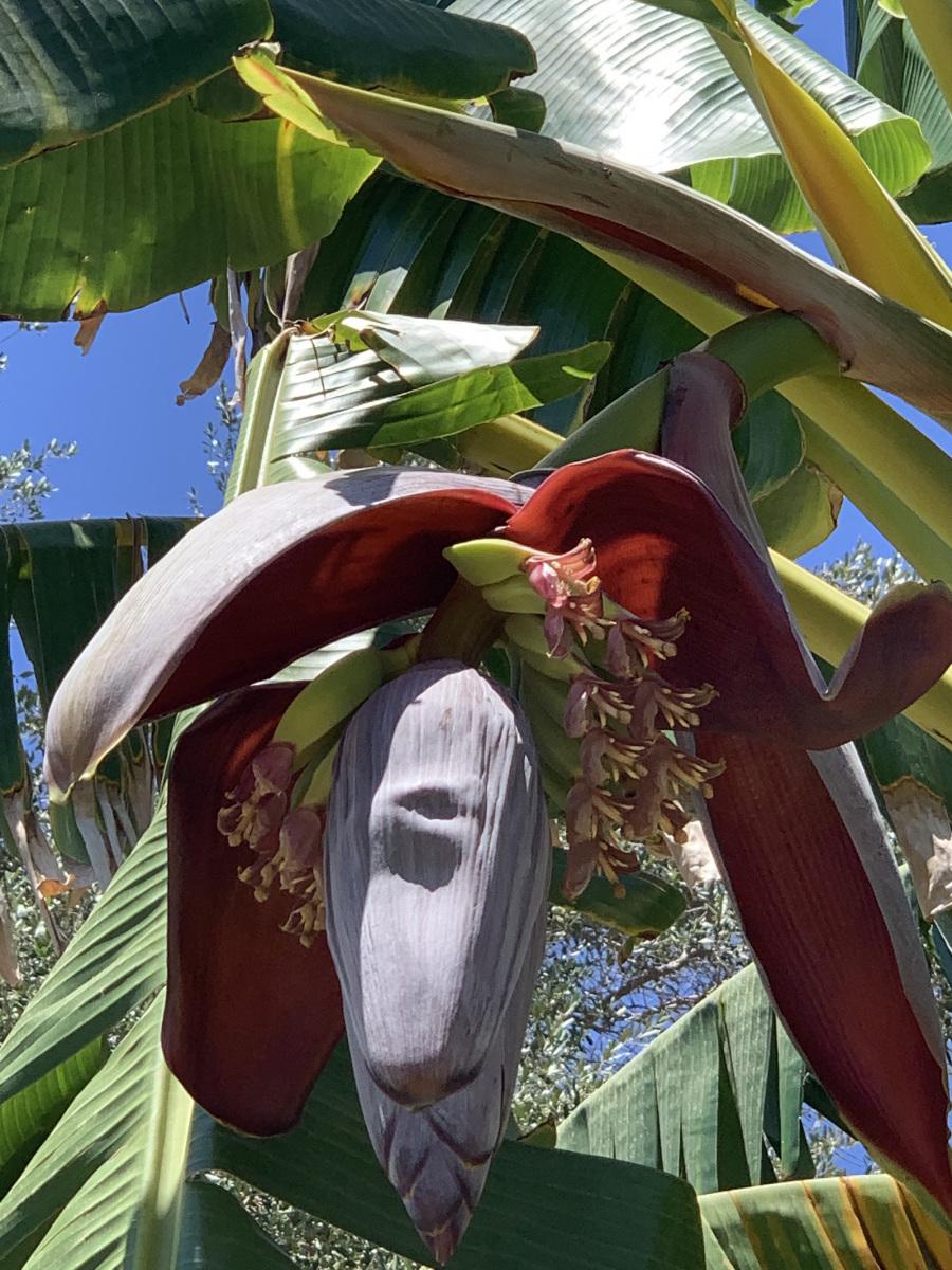Banánfa éppen teremni készül :D