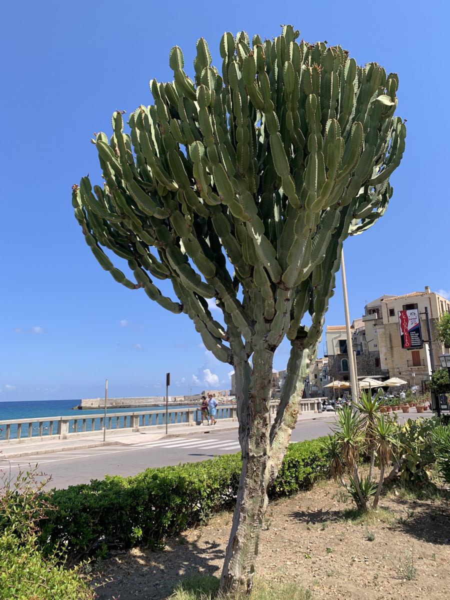 Óriási kaktuszfa, vagy mi :D